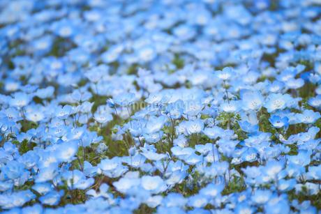 ネモフィラの花 満開 一面の写真素材 [FYI03422308]