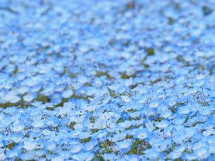一面に広がるネモフィラの花の写真素材 [FYI03422310]