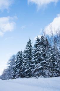 冬の松林の写真素材 [FYI03422315]