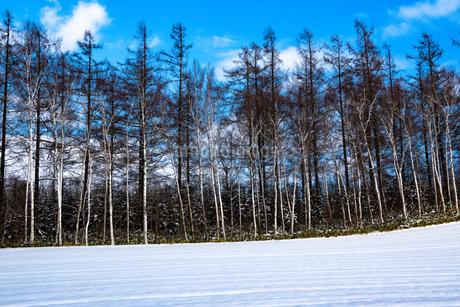 初冬のシラカバ林とカラマツ林と青空の写真素材 [FYI03422328]