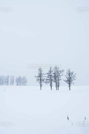 雪原のカラマツ 美瑛町の写真素材 [FYI03422331]