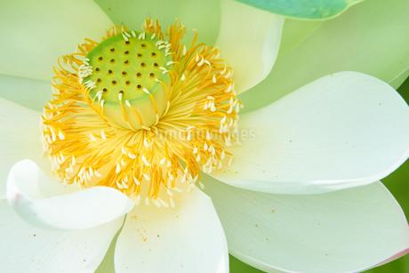 白い蓮の花 しべ アップの写真素材 [FYI03422334]
