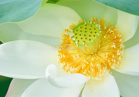白い蓮の花 しべ アップの写真素材 [FYI03422336]