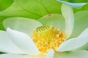 白い蓮の花 アップの写真素材 [FYI03422337]