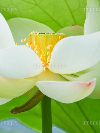 白い蓮の花 アップの写真素材 [FYI03422338]