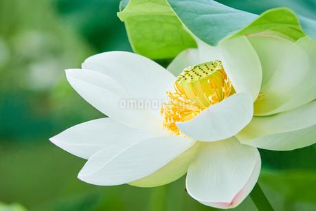 白い蓮の花の写真素材 [FYI03422339]