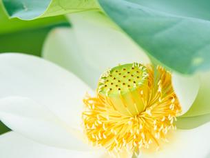 白い蓮の花 クローズアップの写真素材 [FYI03422340]
