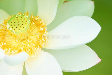 蓮の花 花びら アップの写真素材 [FYI03422341]