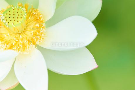 白い蓮の花びらの写真素材 [FYI03422342]