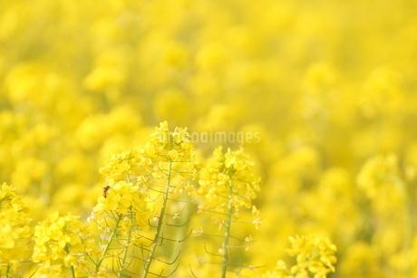 満開の菜の花の写真素材 [FYI03422344]