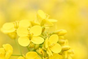 菜の花の花びらアップの写真素材 [FYI03422345]