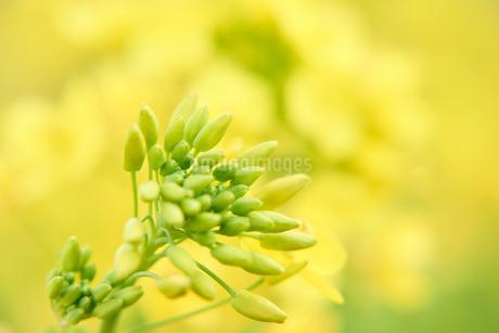 菜の花の蕾の写真素材 [FYI03422346]