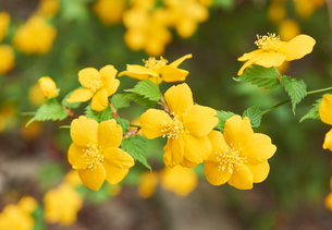 ヤマブキの花の写真素材 [FYI03422352]