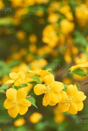 山吹の花の写真素材 [FYI03422353]