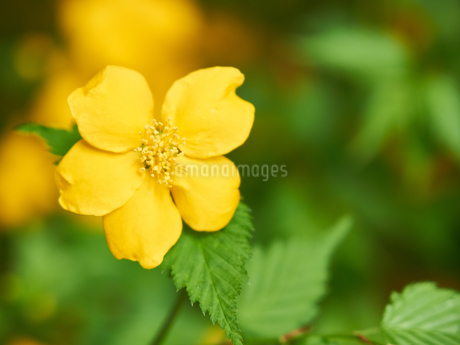 山吹の花の写真素材 [FYI03422354]