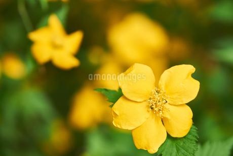山吹の花の写真素材 [FYI03422355]