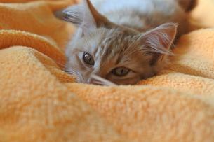 毛布にうもれる子ねこの写真素材 [FYI03422364]