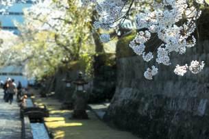 桜街道の写真素材 [FYI03422389]