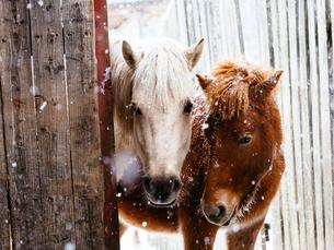 冬の馬の写真素材 [FYI03422458]