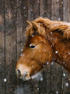 冬の馬の写真素材 [FYI03422460]