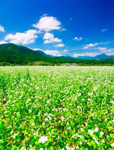 前山の蕎麦畑と女神岳と子檀嶺岳とわた雲の写真素材 [FYI03422582]