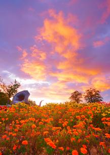マリーゴールドなどの花畑とホルンのオブジェと朝焼けの写真素材 [FYI03422728]