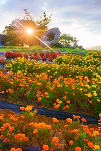マリーゴールドなどの花畑とホルンのオブジェと朝日の写真素材 [FYI03422731]