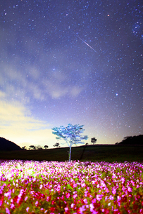 コスモス畑と木立のライトアップと流星の写真素材 [FYI03422738]
