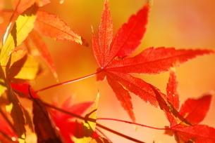 紅葉したモミジの写真素材 [FYI03422823]
