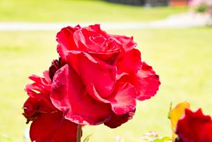 赤いバラの花の写真素材 [FYI03423008]
