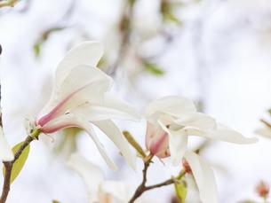 コブシの花 アップの写真素材 [FYI03423093]