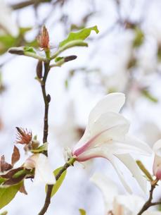 コブシの花 アップの写真素材 [FYI03423094]
