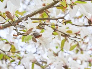 コブシの花の写真素材 [FYI03423097]
