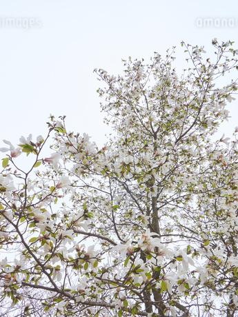 コブシの木 満開の写真素材 [FYI03423098]