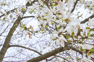 コブシの花の写真素材 [FYI03423099]