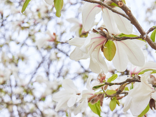 コブシの花の写真素材 [FYI03423103]