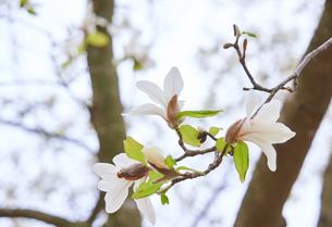 コブシの花の写真素材 [FYI03423105]