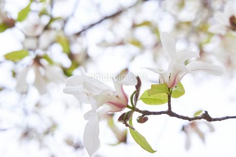 コブシの花の写真素材 [FYI03423107]