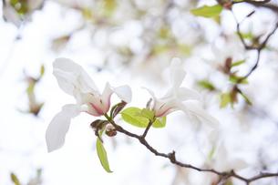 コブシの花の写真素材 [FYI03423108]