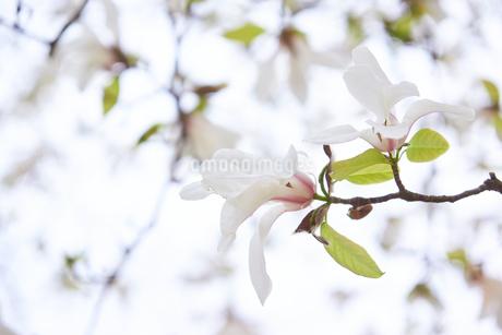 コブシの花の写真素材 [FYI03423109]