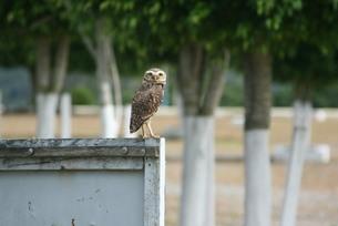 サンパウロ近郊に棲息するフクロウの写真素材 [FYI03423266]