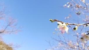秋に咲く桜の写真素材 [FYI03423318]