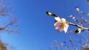 川見四季桜の里の桜の写真素材 [FYI03423319]