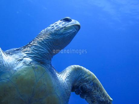 八丈島の巨大なアオウミガメの写真素材 [FYI03423345]
