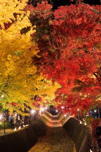 紅葉 もみじ回廊 ライトアップ 富士河口湖町の写真素材 [FYI03423720]