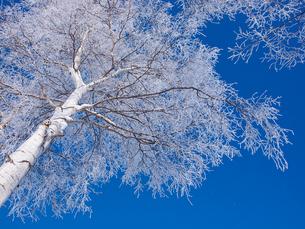 霧氷の白樺の写真素材 [FYI03423940]