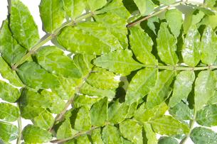 木の芽の写真素材 [FYI03424165]