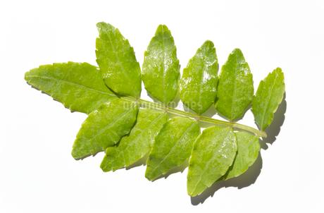 木の芽 白背景の写真素材 [FYI03424167]