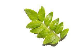 木の芽 白背景の写真素材 [FYI03424168]