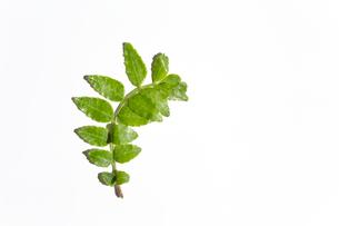 木の芽 白背景の写真素材 [FYI03424170]